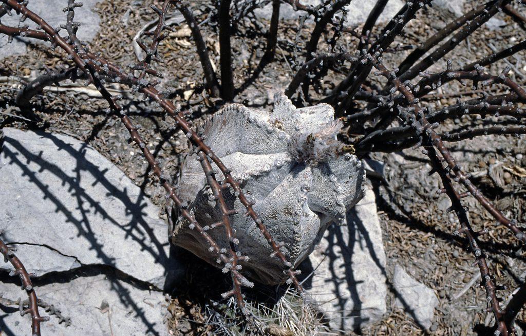 Astrophytum coahuilense bei Lerdo, DUR